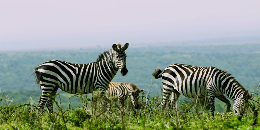Zebras im Serengeti Nationalpark