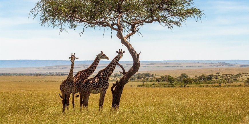 Giraffen in der Savanne in Masai Mara